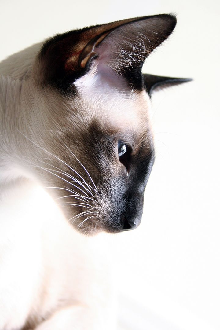 "(Siamese Cat 'Moneypenny') * * "" Whys dids dey haz to names me dat? Allz day, I be lookin' fer moneys and pennies."""