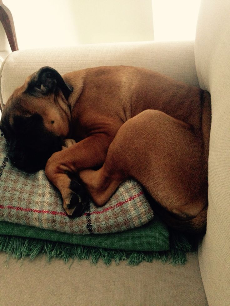 Napping in the smallest spaces #bullmastiff #angie