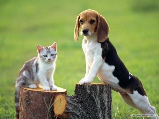Beagle and cat