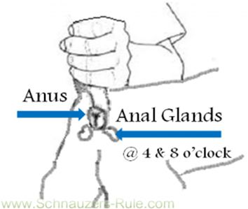 Function Of Dog S Anal Glands