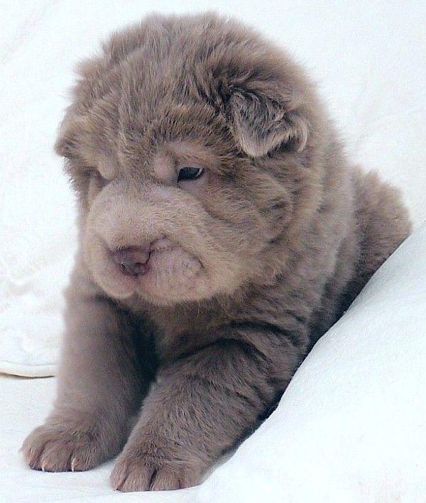 blue bear coat shar pei - Google Search