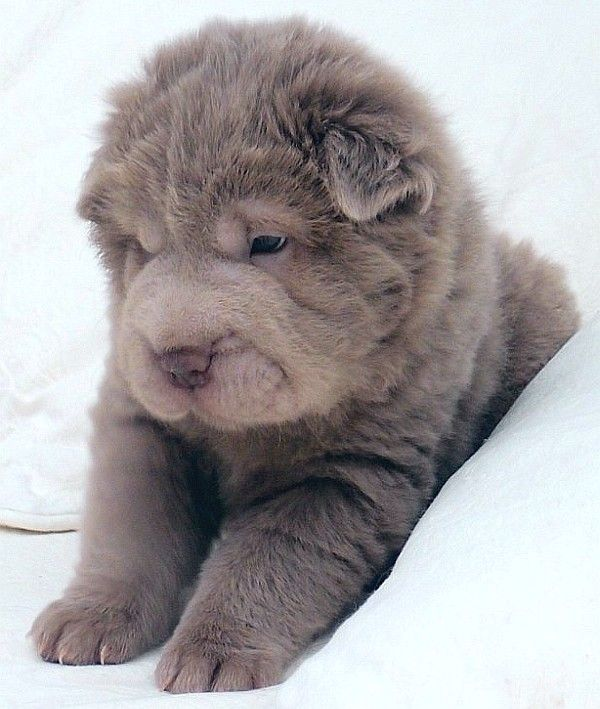 blue bear coat shar pei - Google Search