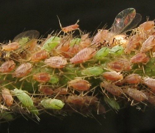 Aphids.  Check out our plant pathology course.  http://www.acs.edu.au/courses/plant-pathology-46.aspx