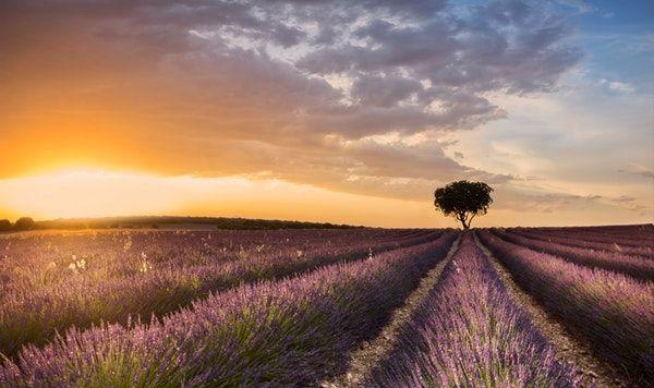 Lavender Fields Wallpaper Field Wallpaper Landscape Landscape Photography