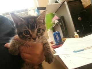 Champ - URGENT - located at MERCER COUNTY ANIMAL SHELTER in Princeton, WV - KITTEN Male Domestic SH Mix