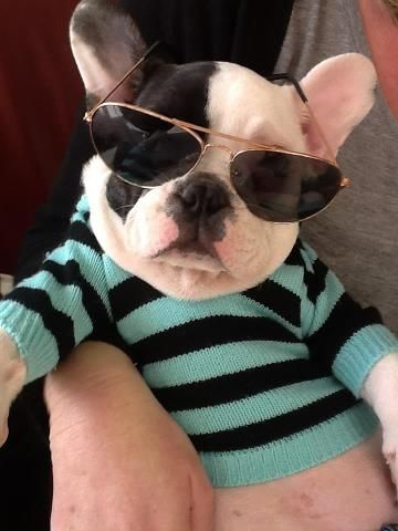 """Dude.....Bro"", Cool French Bulldog Puppy."