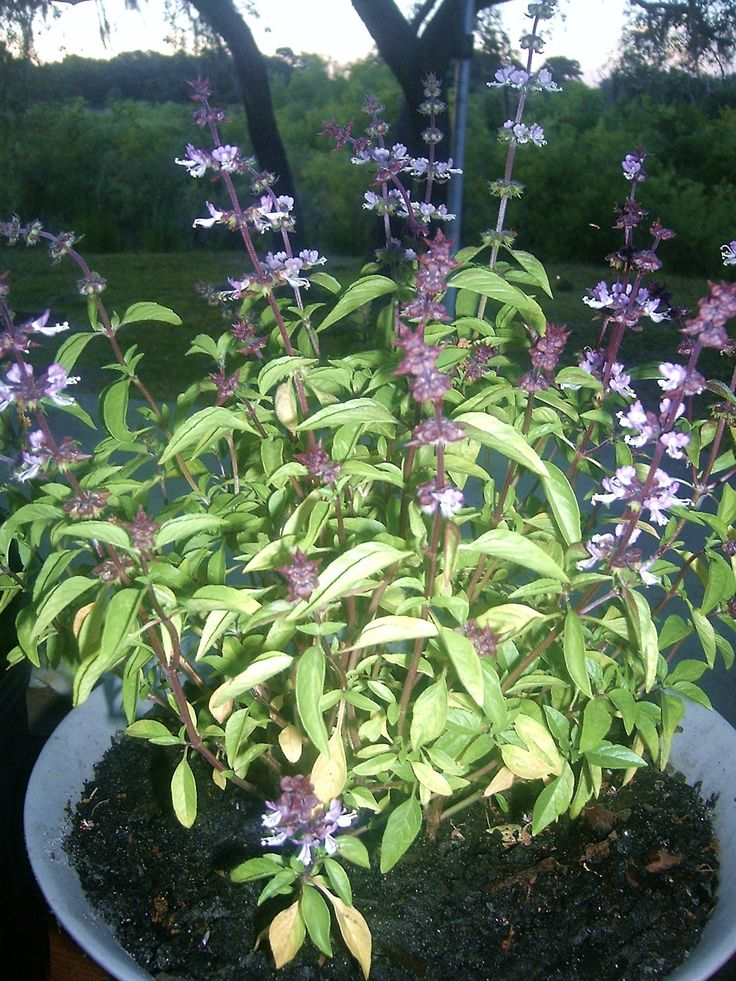 best 25 basil plant ideas on pinterest pruning basil caring for basil plant and growing. Black Bedroom Furniture Sets. Home Design Ideas