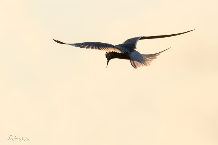 Artic tern by Siv Wester on 500px