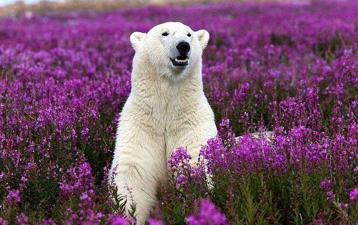 .: Beautiful Beast, Polar Bears, Animal Photography, Color, Teddy Bears, Purple Flowers, Baby Bears, Hudson Bays, Wild Flowers