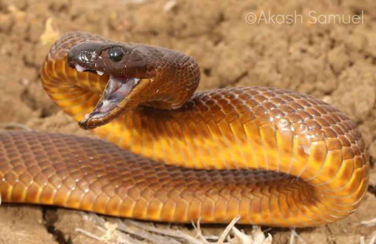 #taipan #snake