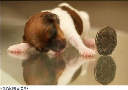[노컷뉴스 김효희 기자]손바닥 위에 올려놓고도 남을 정도로 작은 강아지가 눈길을 끌고 있다고 지난 20일 영국 매체 데일리메일이 전했다.영국 윌트셔 스윈던 지역 잭러셀-치와와 잡종 암컷 강아지 미라클은 태어날 때 무게가 영국 50펜스 동전 1개와 같은 1.5온스(약 42g)였다. 당시 길이도 3인치(약 7.6cm)밖에 되지 않았다.주인이 집을 비운 사이