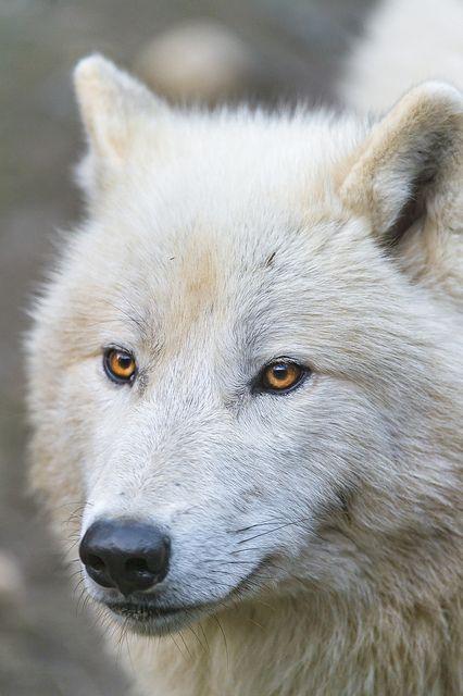 Pretty polar wolf