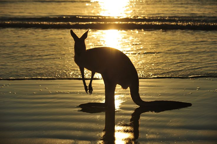 Special moment at sunset - Discover Tasmania #Australian #wallaby