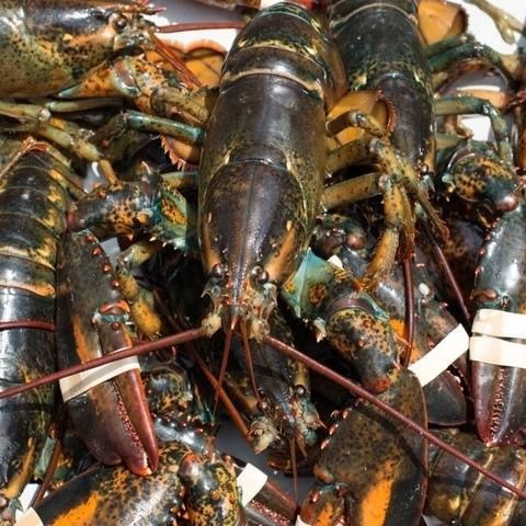 Selecting (and Buying) Maine Lobster When is lobster season?Maine lobsters are harvested year-round, but seasonal peaks and dips occur. As always, prices follow the market, rising with scarcity, dropping when landings are high. Here ...