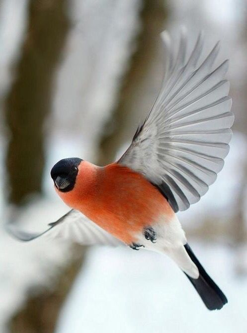 The bird that reprecents christmas #flying #bullfinch