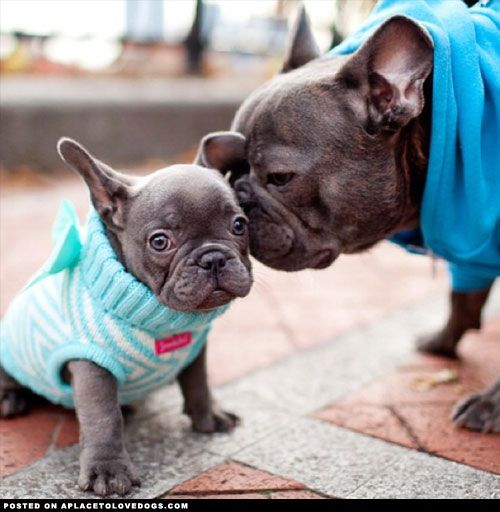 Ridiculously Cute French Bulldogs - A Place to Love Dogs Limited Edition French Bulldog Tee