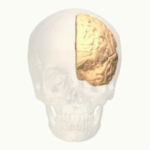 Anterior cingulate gyrus animation - Anterior cingulate cortex - Wikipedia, the free encyclopedia