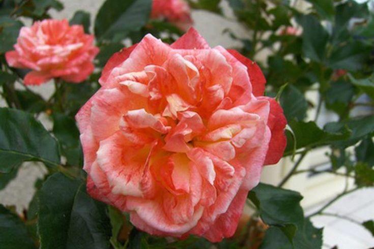 Efectos secundarios de las bayas de escaramujo. Las bayas de escaramujo son producidas por las plantas de rosa una vez que caen las flores. Probablemente hayas visto bayas de escaramujo en formulaciones de vitamina C, ya que se consideran una gran fuente de este nutriente. De hecho, tienen 20 veces ...