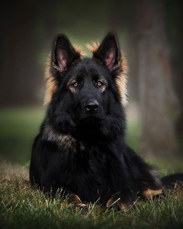 Gsd Jethro German Shepherd Dogs German Shepherd Dogs