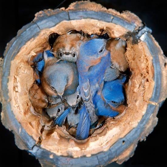 Bluebirds nesting in a log