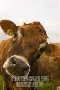 jersey cow face - Bing Images