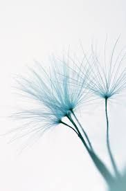 Image result for photos dandelion seed