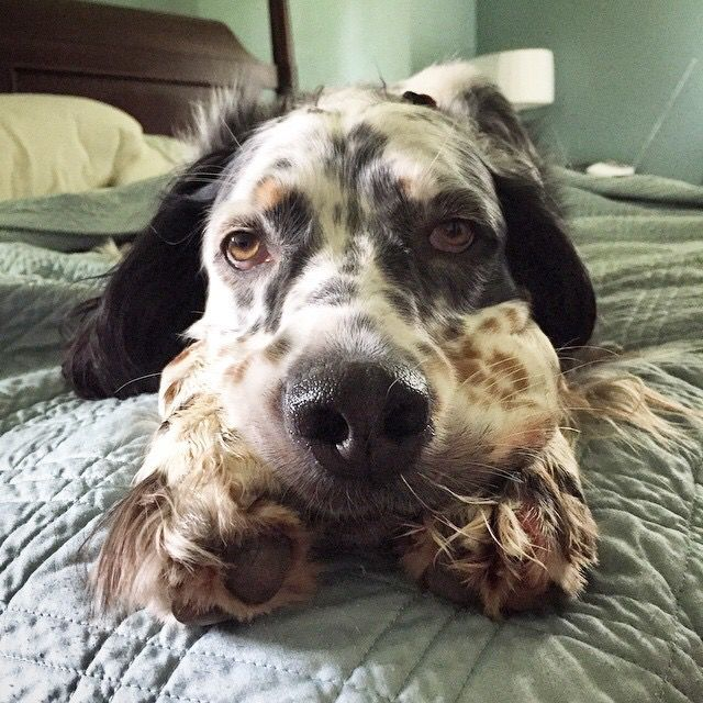 17 best images about english setter on pinterest