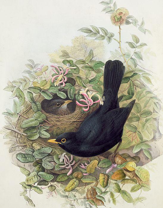 Blackbird, by John Gould. Das Bild zeigt ein Altvogelpaar und dem Nest im Geißblatt. ~Die Amsel~