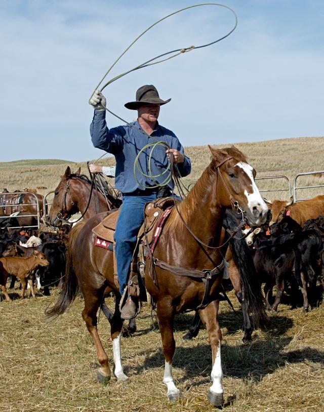 Cattle roundup in the Sandhills in western Nebraska