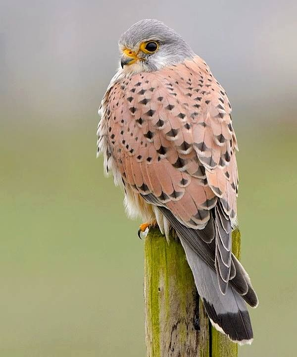 Kestral (posted by How To Be, Book Author on Facebook)