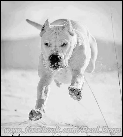 Can A Dogo Argentino Live With A Pack Of Dogs