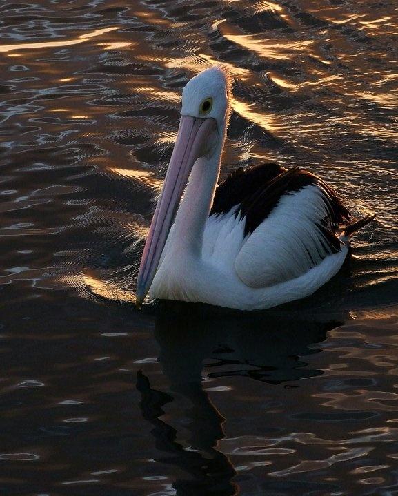 Pelican - Sunshine Coast, Australia.....