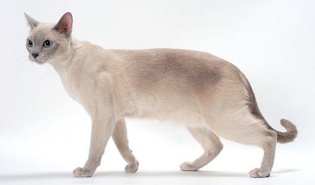 Tonkinese Cat Walking Cat Breeds Tonkinese Cat Tonkinese