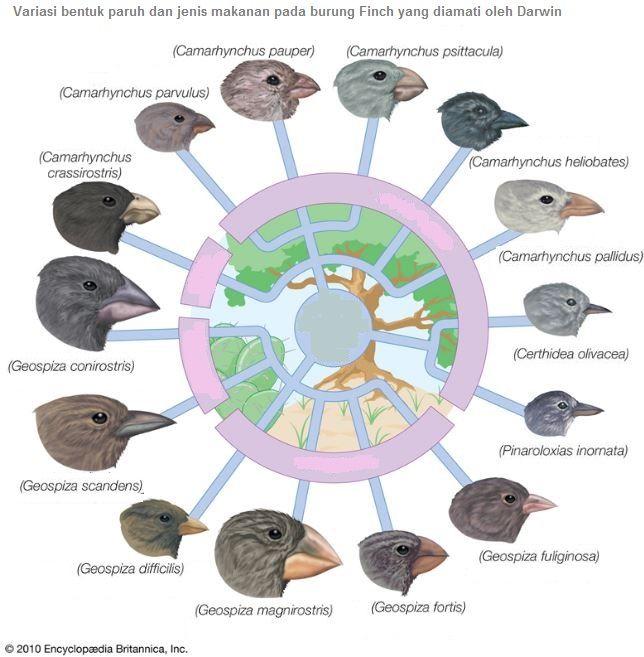Variasi burung finch, dalam pembahasan Teori Evolusi Darwin
