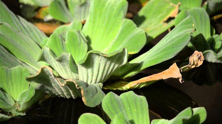 Plantas Ornamentales | Imagenes de plantas acuaticas flotantes