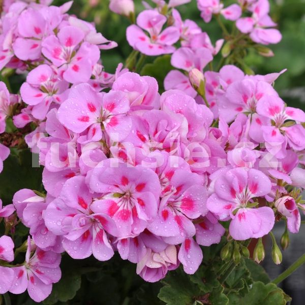 Fuchsie - Detail zboží | Pelargónie Zonale vzpř. | Pelargónie zonale Flower Fairy Viole | Muškát vzpřímený - ZAHRADNICTVÍ Tomáš Petro