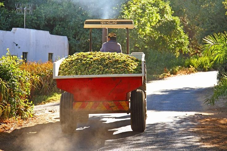 Harvest 2013  http://www.muratie.co.za/buy-wine/