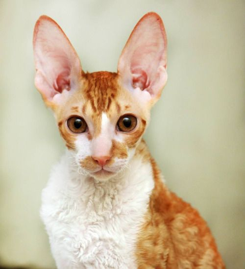 Laurelin Magic Rivendell, red bicolour Cornish Rex