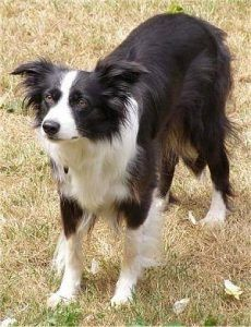 Exercising Your Border Collie | Animal Hub