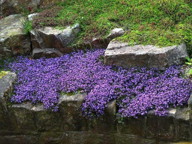 The creeping myrtle has small purple flowers. It looks lovely growing a long a wall or hillside. It has dense roots that can help with soil erosion.