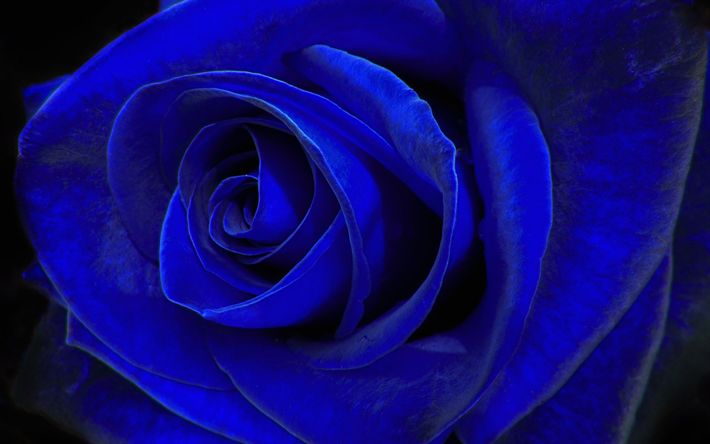 Download wallpapers blue rose, blue flower, rosebud, macro