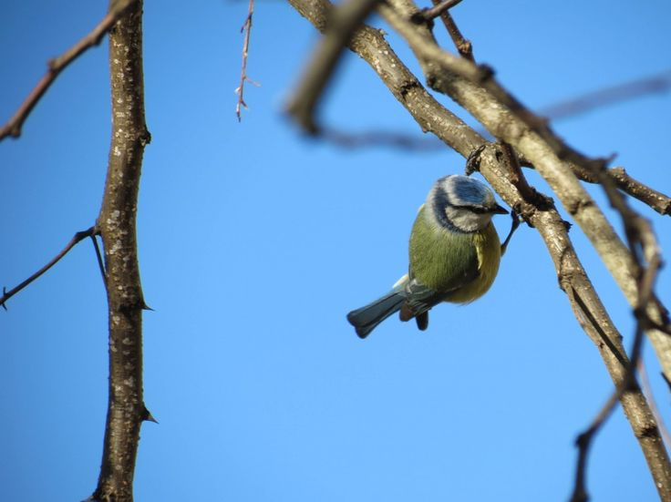 Chapim-azul (Parus caeruleus)                                                                                                                                                                                 Mais