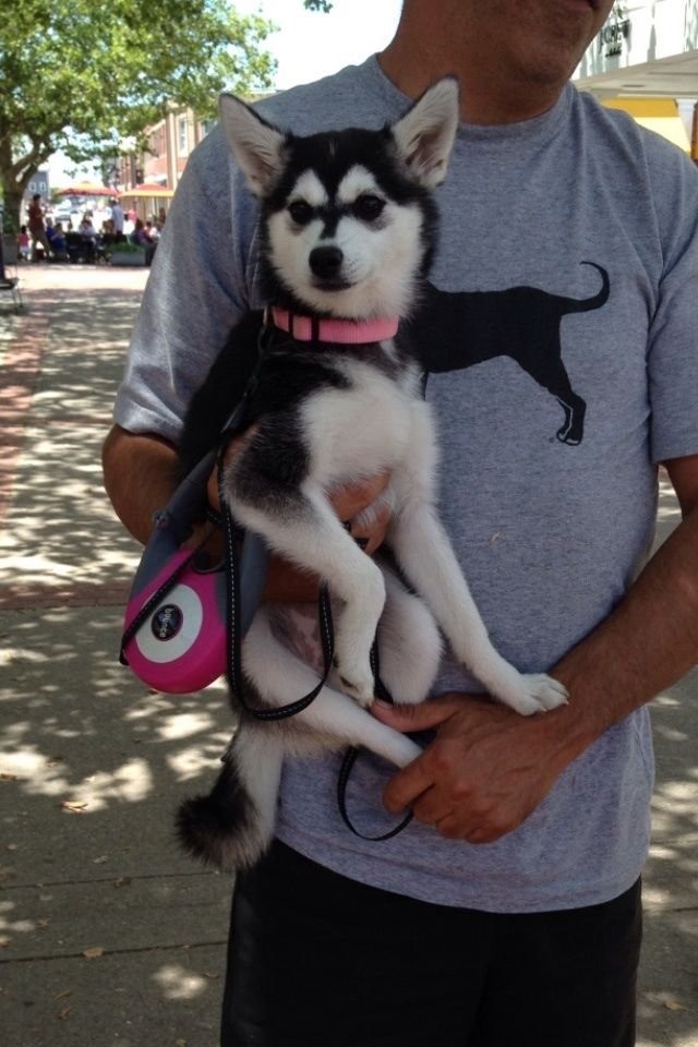 Full grown mini husky!!!  I want one!!!