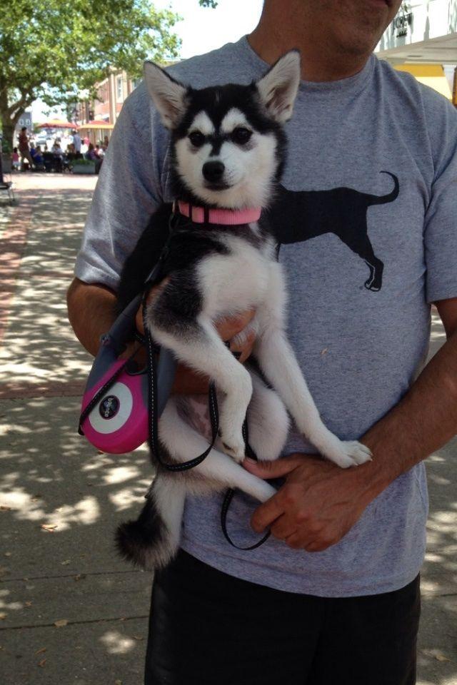 Full grown mini husky!!!  I want one!!!