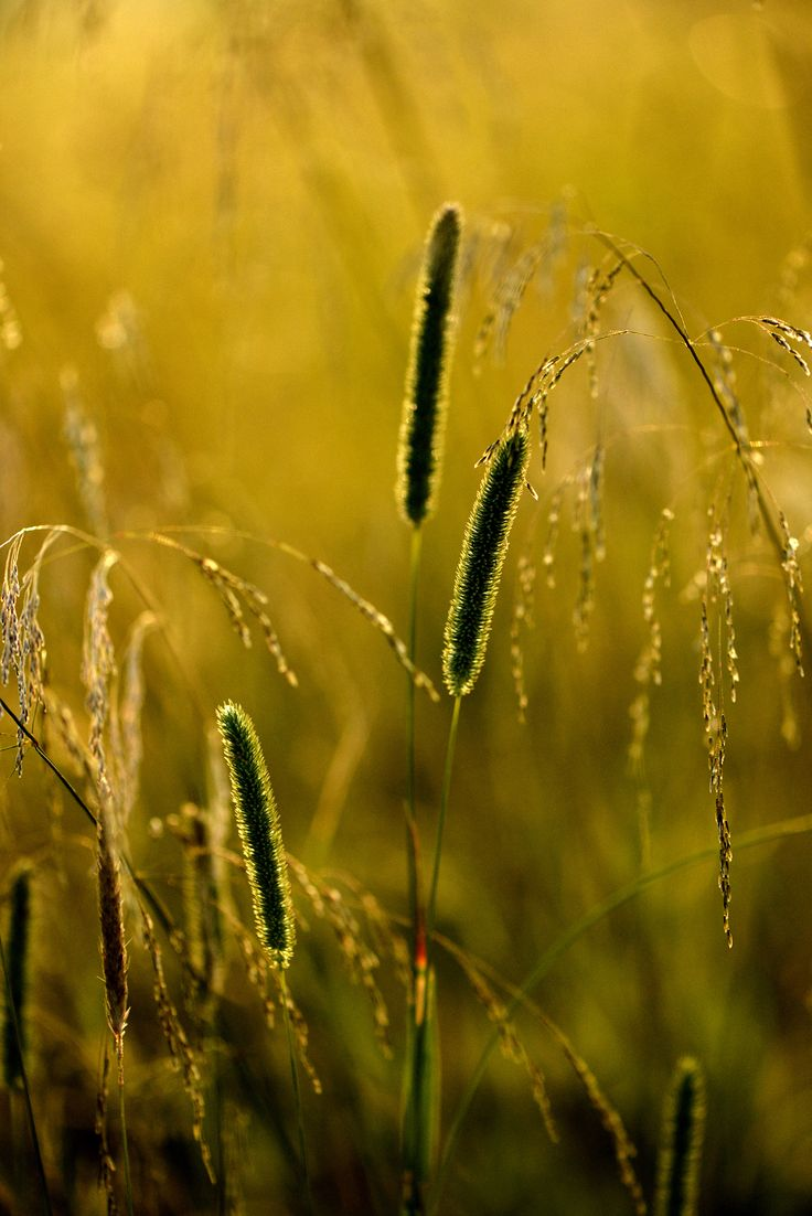 Early morninggrass