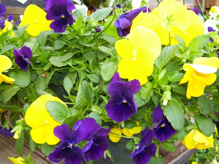7 Best Astounding Annuals For Zone 8 Images On Pinterest