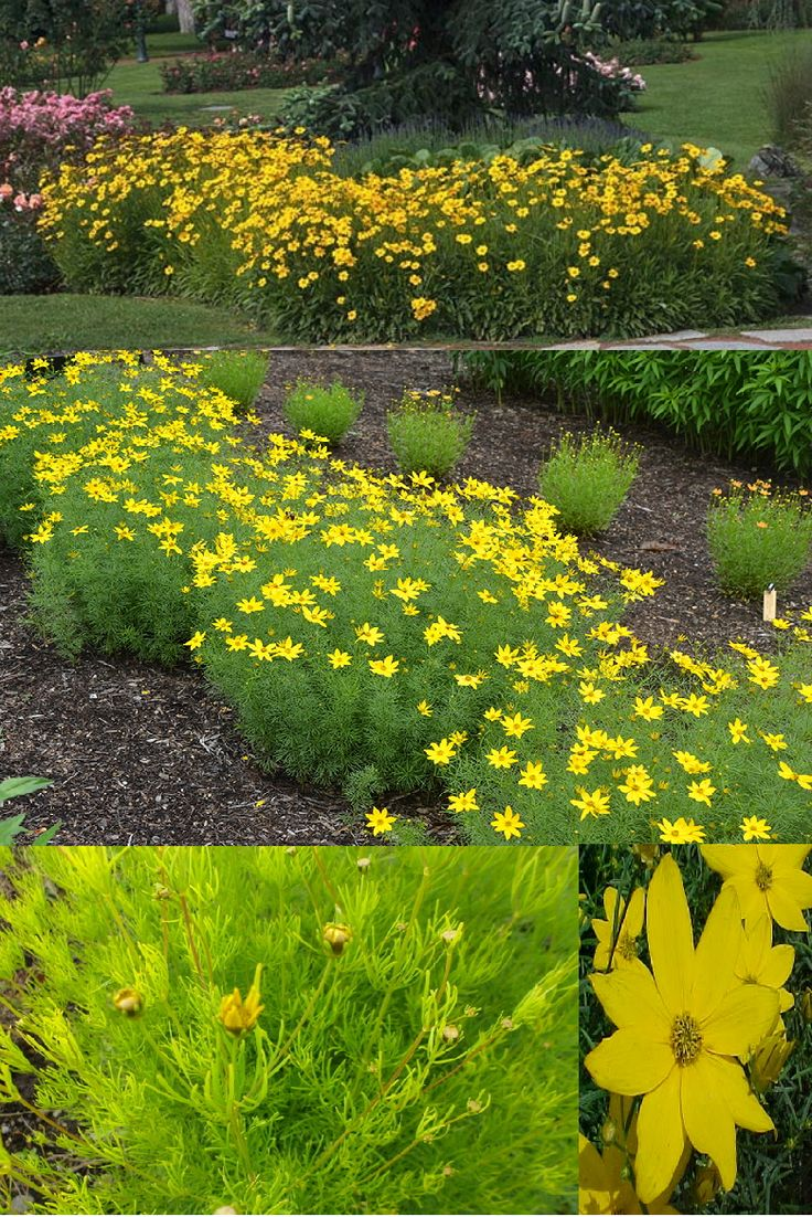 100 best images about coreopsis craze on pinterest for Easy maintenance perennials