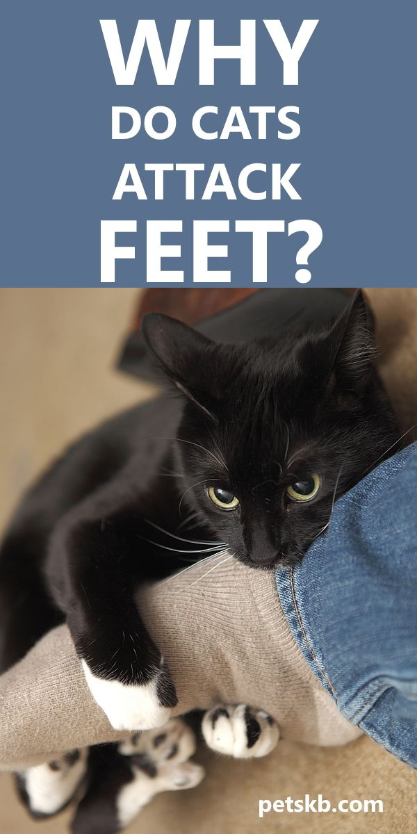 Why Do Cats Attack Feet The Pets Kb In 2020 Cat Biting Cat Attack Cat Care