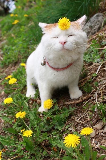Dandy lion: Thoughts, Hippie Cat, Flowers Children, Funny Pictures, Philosophy, Peace, Smile, Kitty, Animal