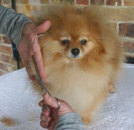 pomeranian haircut styles 85 best grooming spitz images on doggies pet 2273 | 5a05c1865eb12ef9d011f4bd93cedecf pomeranian haircut pompoms